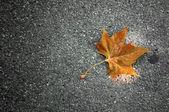 Maple leaf, autumn concept — Stock Photo