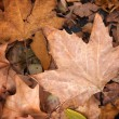 Maple leaf, autumn concept — Stock Photo