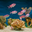 Pink fishes in aquarium — Stock Photo #7076780