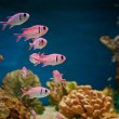 Pink fishes in aquarium - Stock Photo
