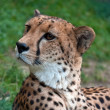 Cheetah — Stock Photo #7157416