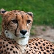 Cheetah — Stock Photo #7829269