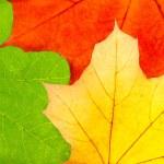 Three colorful autumn maple leaves — Stock Photo