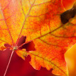 Red-yellow holey maple leaf — Stock Photo