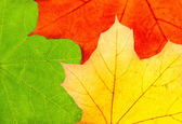 Three colorful autumn maple leaves — Stock Photo