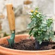 Potting a seedling in a pot of daisies — Stock Photo