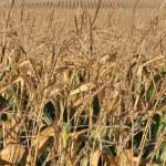 Dry corn field — Stock Photo #6940813