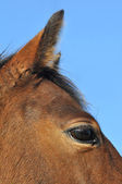 Close eye anf ear of a horse — Stock Photo
