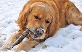 Zlatý retrívr na sněhu — Stock fotografie