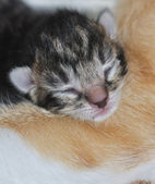 The cute little head of a newborn kitten — Stock Photo