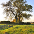 Stock Photo: Large ash tree in evening light