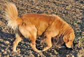 Golden retriever sniffing the ground — Stock Photo