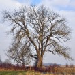 Bare tree — Stock Photo #7787242