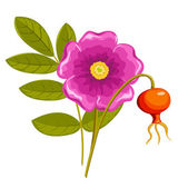 Dogrose. Isolated on the white. Vector illustration. — Stock Vector
