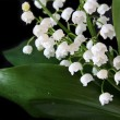 Lily-of-the-valley — Zdjęcie stockowe #7245848