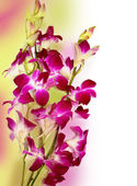 Fresh violet orchids isolated — Stock Photo