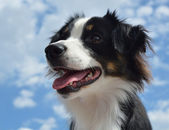 Australian Shepherd (Aussie) Dog — Stock Photo