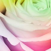 Multicolor rose — Stockfoto