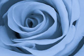 Blue rose close up — Stock Photo