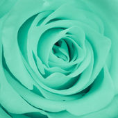 Green rose close up — Stock Photo