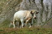 White cow — Stock Photo