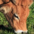 Portrait of brown cow — Stock Photo #7296360