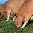 Cows eating — Stock Photo #7296517