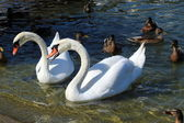 Angry swan among other waterbirds — Stock Photo