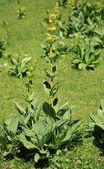 Big yellow gentian flowers — Stock Photo