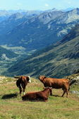 Cows at the Galibier pass, France — Stock Photo