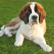Cute Saint Bernard Purebred Puppy — Stock Photo #7140794