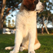 Cute Saint Bernard Purebred Puppy — Stock Photo #7140815