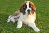 Cute Saint Bernard Purebred Puppy — Stock Photo