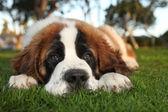 Cute Saint Bernard Purebred Puppy — Stock Photo