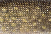 Texture of pike scales — Stock Photo