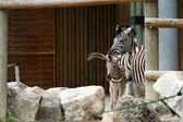 Zebra in zoo — 图库照片