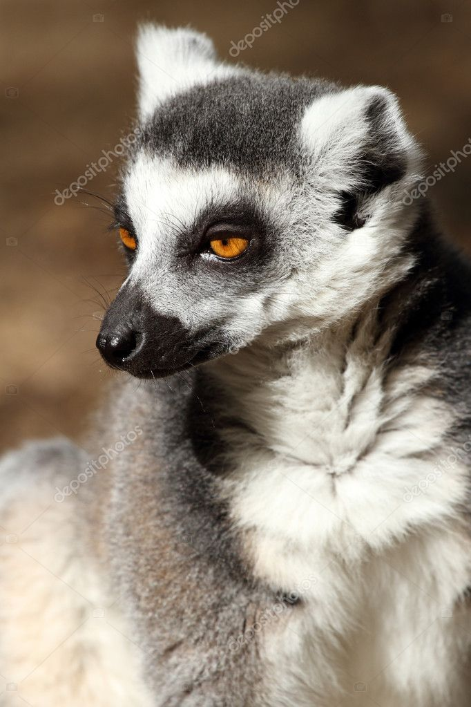 Details of a sitting ring-tailed lemur   Stock Photo #6927504
