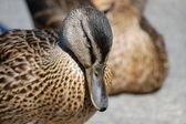 Head of duck — Stock Photo