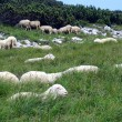 Sheep herd in mountains — Foto de stock #7304350