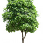 Osmanthus tree — Stock Photo