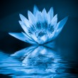 Blue water lily - Stock Photo