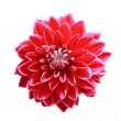 Red dahlia flower - Stock Photo