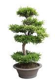 Bonsai elm tree — Stock Photo