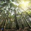 Tall cedar trees in lushan — Stock Photo
