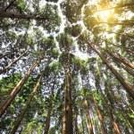 Tall cedar forest — Stock Photo