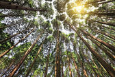 Tall cedar forest — Stock Photo