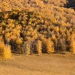 Golden birch forest in autumn — Stock Photo