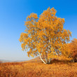 Birch woods at autumn — Stock Photo #7549696