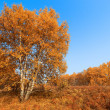 Stock Photo: Autumn birch forest
