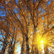 Sunlight behind birch tree in autumn — Stock Photo